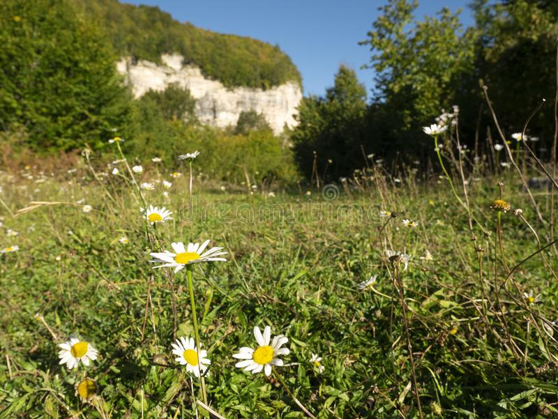 Blooming chamomile. In a mountain meadow.  stock images