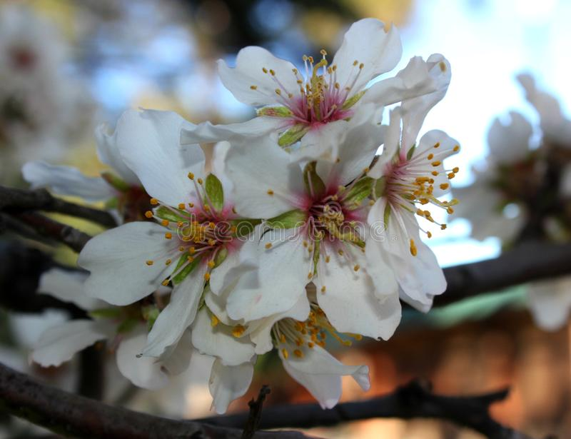 blooming cherry royalty free stock image