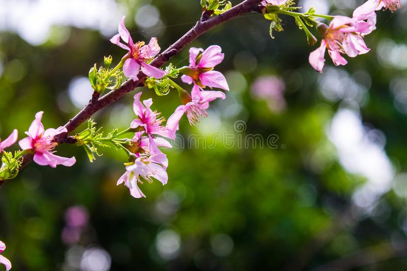 Blooming cherry blossom flowers. In nature on dark background stock photography