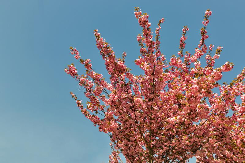 Blooming cherry blossom tree in Berlin, Germany. Beautiful pink flowers lighted by sun in the morning, clear blue sky in the background royalty free stock photo