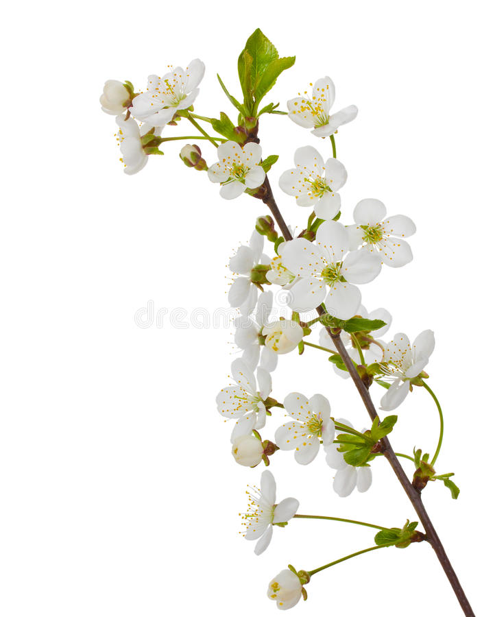 Download Blooming cherry branch stock image. Image of branch, season - 19556423