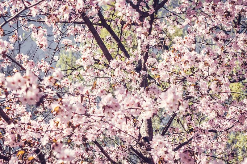 Blooming cherry branch in the spring japan garden at the wedding ceremony. royalty free stock image