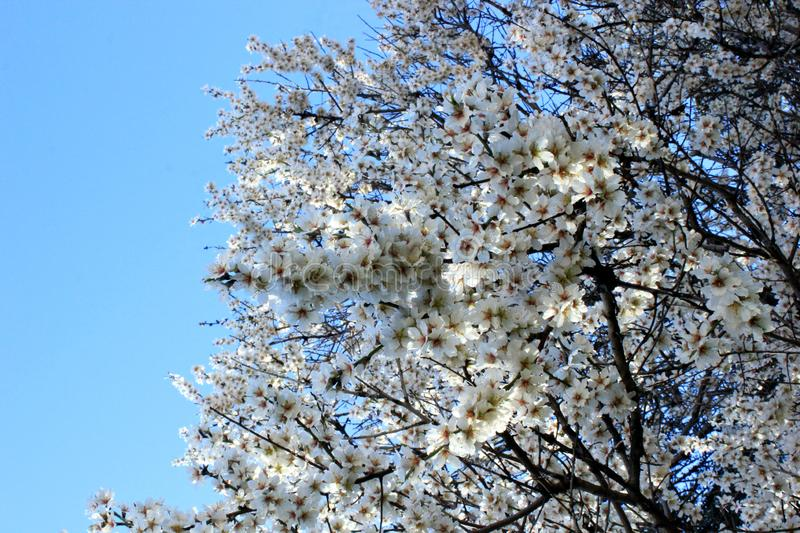 blooming cherry, cherry tree branch royalty free stock photos