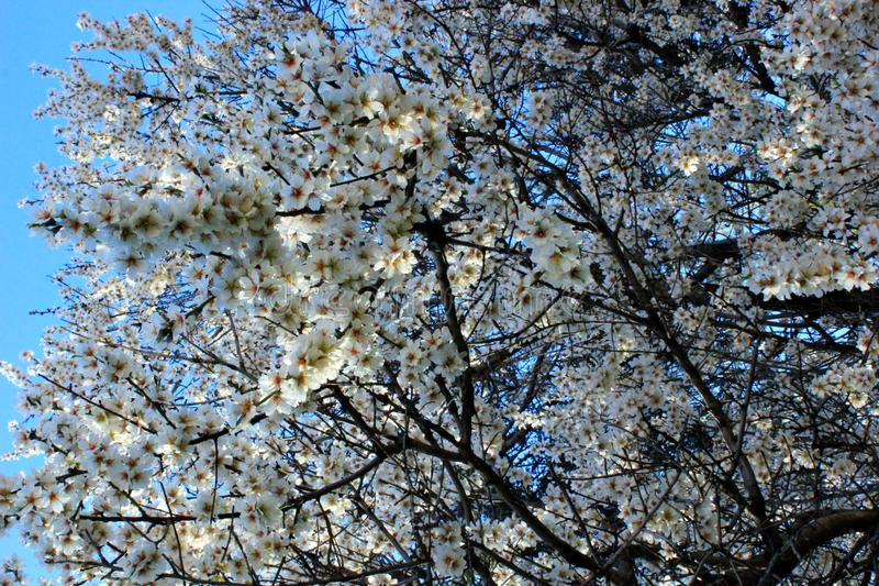 blooming cherry, cherry tree branch royalty free stock images
