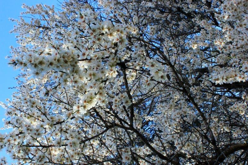 blooming cherry, stock photos