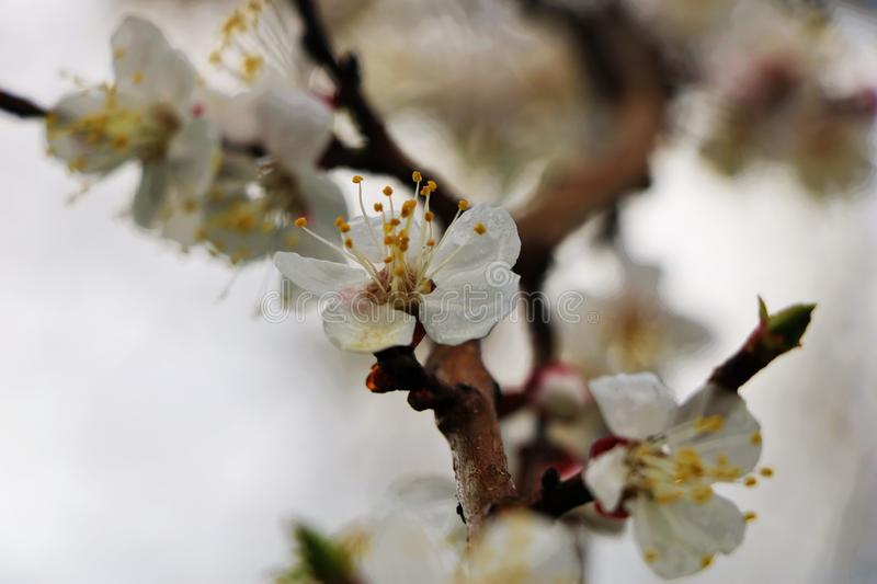 Blooming cherry in cloudy weather royalty free stock photography