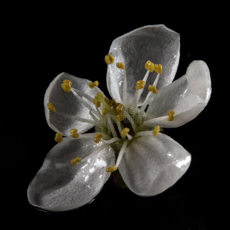 Blooming cherry plum stock image