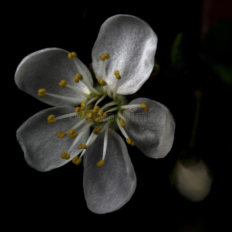 Blooming cherry plum royalty free stock photos