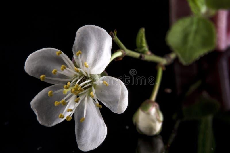 Blooming cherry plum stock photos