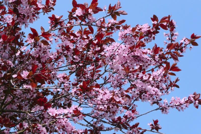Download Blooming cherry (sakura) stock image. Image of beautiful - 40205399