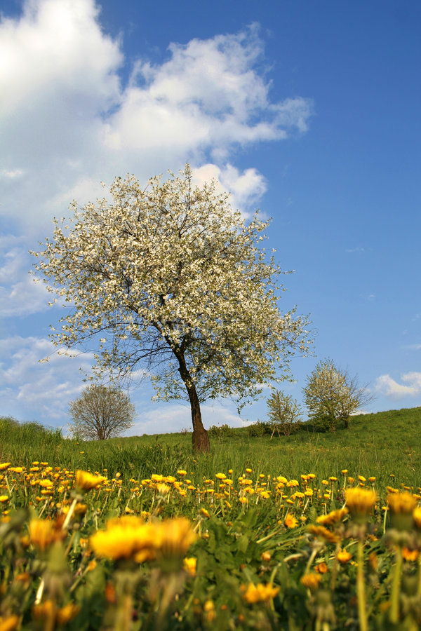 Download Blooming cherry-tree stock photo. Image of alone, dandelions - 5070734