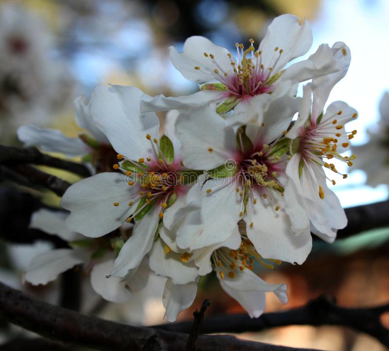 blooming cherry royalty free stock photos