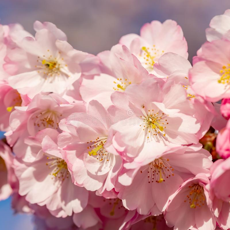 Blooming cherry tree in springtime. Beautiful spring pink flowers in a park. royalty free stock image