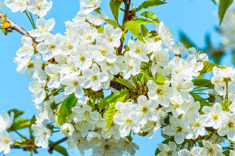 Blooming cherry tree, tiny white flowers against the blue sky stock photo