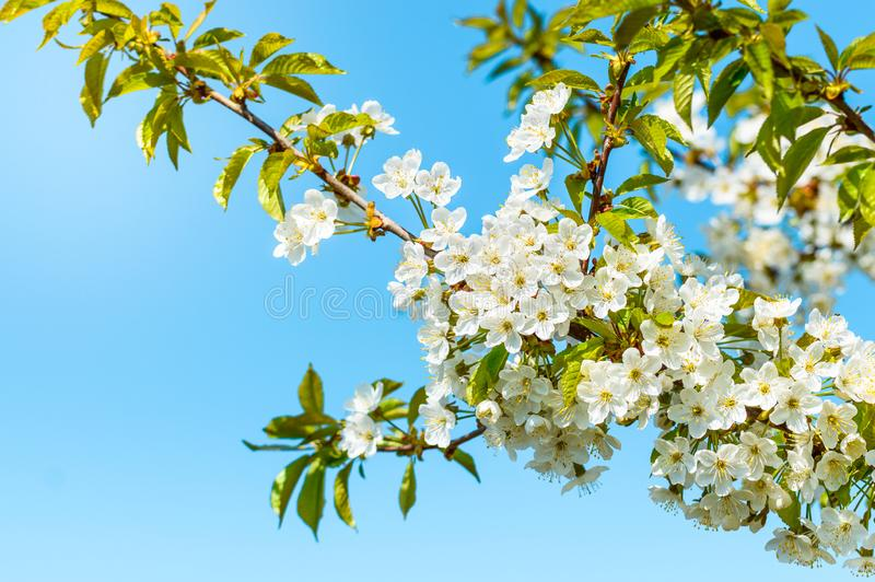 Blooming cherry tree, tiny white flowers against the blue sky stock photos