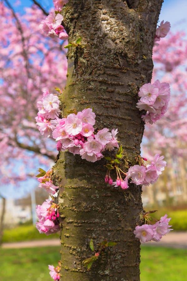 Blooming cherry tree trunk symbol of spring stock image image of download blooming cherry tree trunk symbol of spring stock image image of bees mightylinksfo
