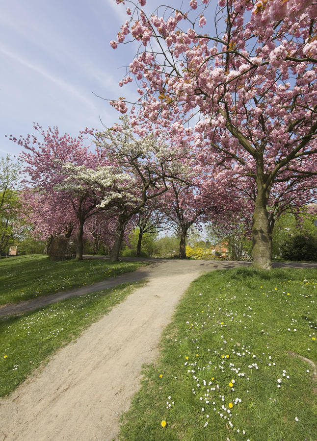 Download Blooming Cherry Trees In A Park Stock Photo - Image: 13511998