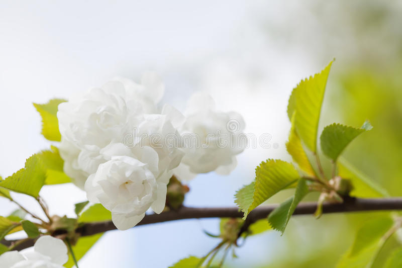 Blooming chinese apple branch with white flowers and green leaves download blooming chinese apple branch with white flowers and green leaves crabapple tree malus mightylinksfo
