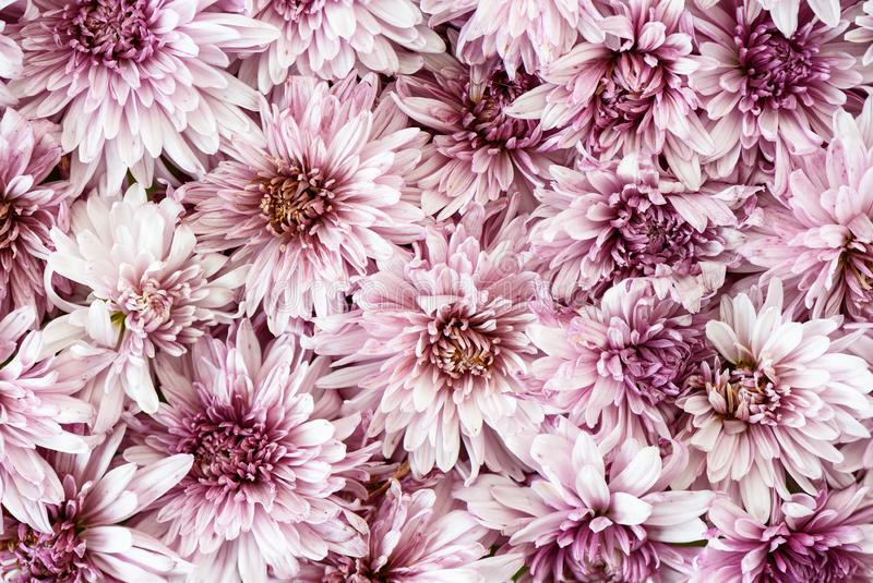 Blooming chrysanthemums. Autumn flowers background. Close up stock images