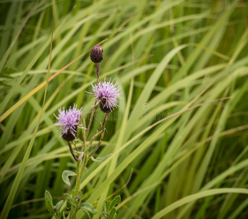 Blooming Cirsium arvense on the background of dense green grass. In the summer field stock images