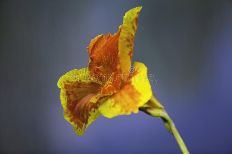 A blooming closeup orange canna lily flower. A blooming macro closeup orange canna lily flower with deep orange dots on the petals stock photos