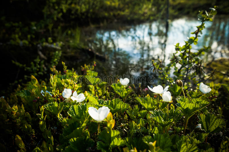 Blooming cloudberries in the North royalty free stock images