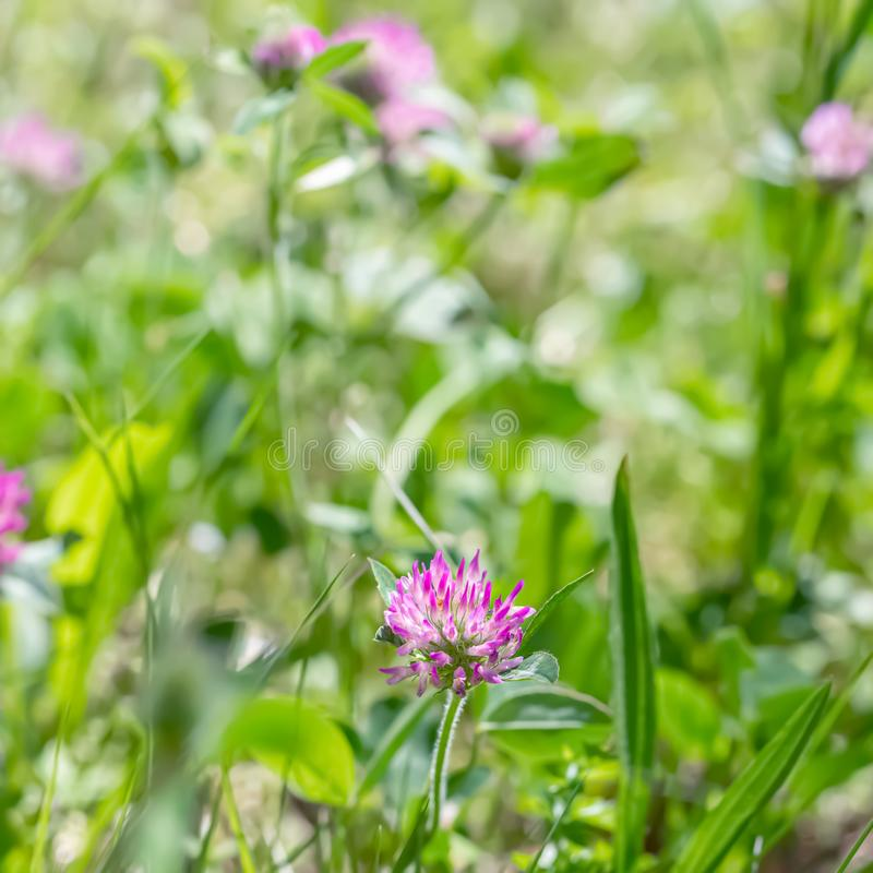 Blooming clover on a green meadow on a sunny day. Grass and flowers in the field in the summer. Nature blurred background. stock photos
