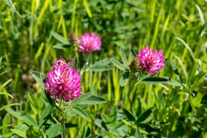 Blooming clover meadow or red clover. Trifolium pratense is edible, medicinal plant. trefoil flower illuminated by sun. Blooming clover meadow or red clover stock photo