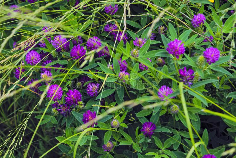 Blooming clover on a summer meadow. Blooming clover purple shade royalty free stock photography