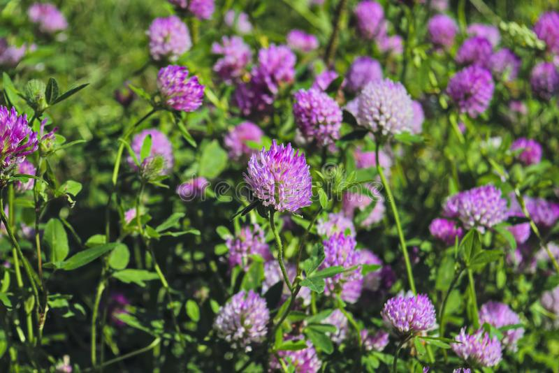 Blooming clover on a summer meadow. Blooming clover purple shade royalty free stock image