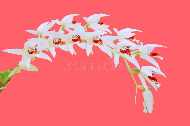 Blooming Coelogyne asperata Orchid Flowers on Colorful Bright Pink Background. Blooming Exotic Coelogyne asperata Orchid Flowers on Colorful Bright Pink stock photos