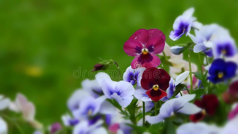 Blooming colorful Pansy flower in the garden stock photography