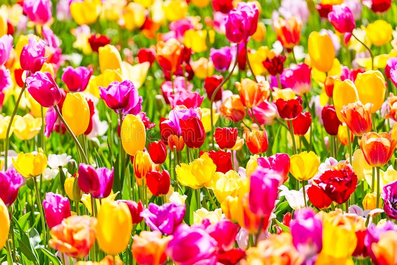 Blooming colorful tulips flowerbed in Keukenhof flower garden. Popular tourist site. Lisse, Holland, Netherlands. Selective focus. stock images