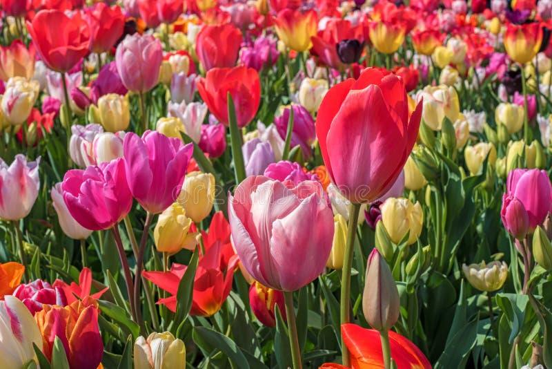 Blooming colorful tulips, Keukenhof, Netherlands royalty free stock photography