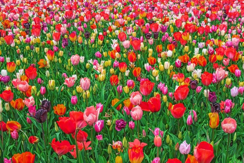 Blooming colorful tulips, Keukenhof, Netherlands royalty free stock images