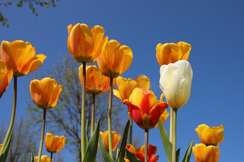 Blooming Colorful Tulips royalty free stock photo