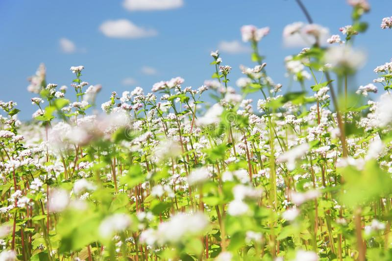 Blooming common buckwheat Fagopyrum esculentum in a field. Buckwheat flowers against a blue sky stock image