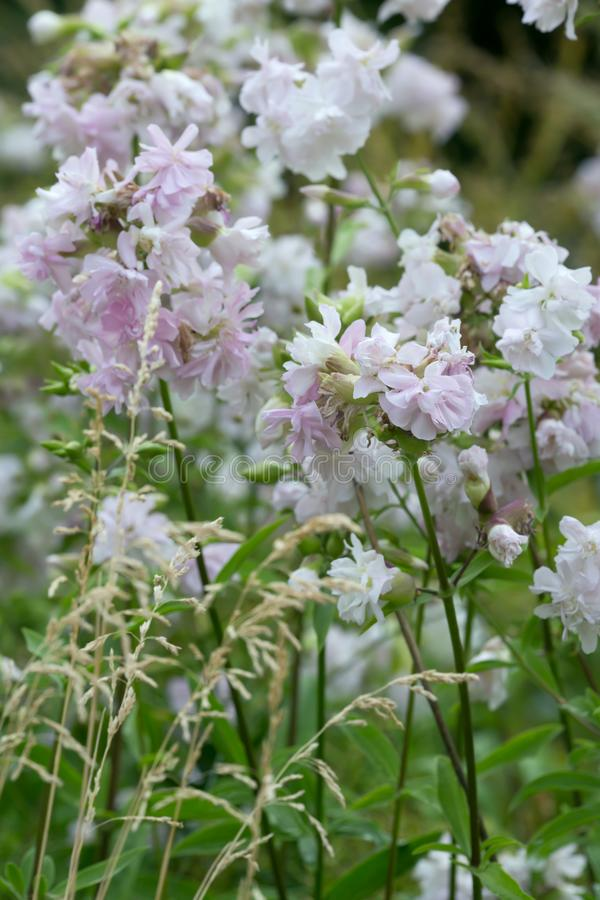 Free Blooming Common Soapwort, Saponaria Officinalis Royalty Free Stock Photography - 129969397