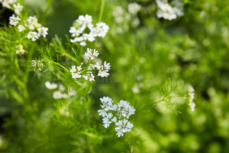 Blooming Coriander Chinese parsley or Coriandrum sativum, Cilantro, Coriander royalty free stock photography