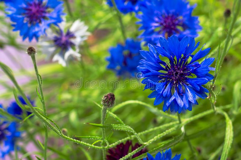 Blooming Cornflowers Centaurea cyanus in a field. Close up of a beautiful blue Cornflowers in summer sunlight. Trendy color of. 2020 concept. Selective focus royalty free stock image