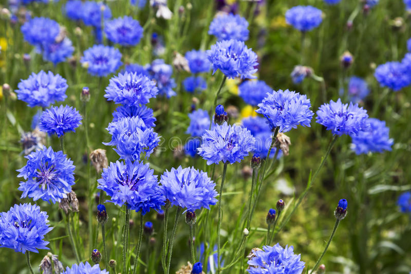 Blooming Cornflowers (Centaurea cyanus) in a field. Sunny day stock photos