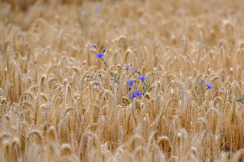Cornflower - Cyanus segetum Hill - Centaurea cyanus - flowering wild blue cornflower inbetween corn field stock photo