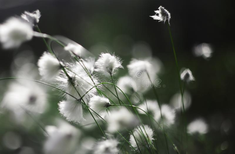 Cotton grass. Blooming cotton grass in sun rays royalty free stock image
