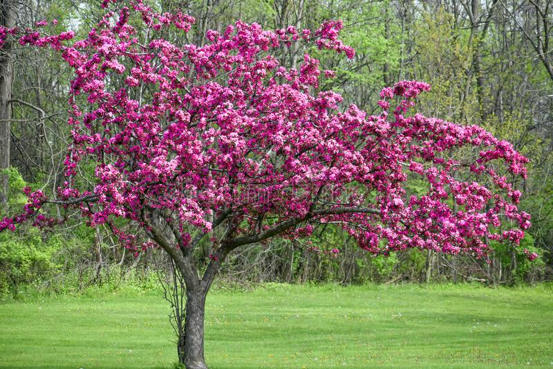 Blooming Crab Apple Tree with Purple Flowers. A spring blooming crab apple tree full of beautiful pink, purple flowers stock photo