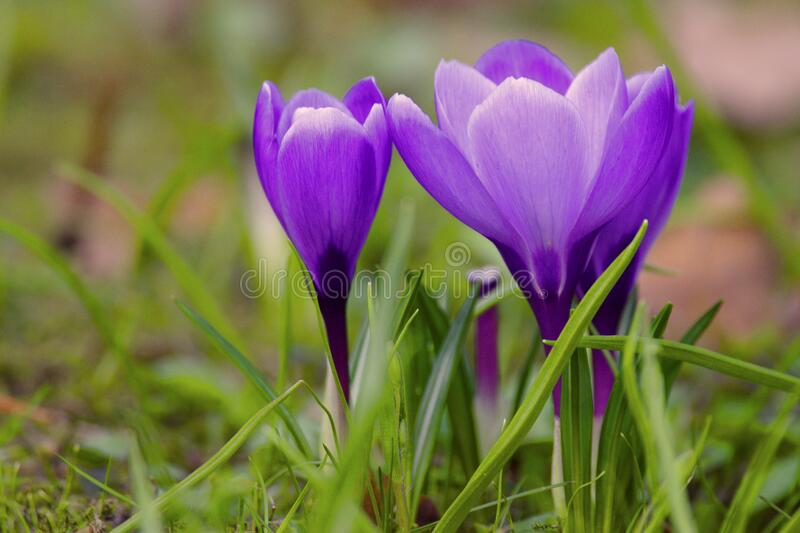Blooming Crocus flowers in spring season in city park in Warsaw, Poland stock images