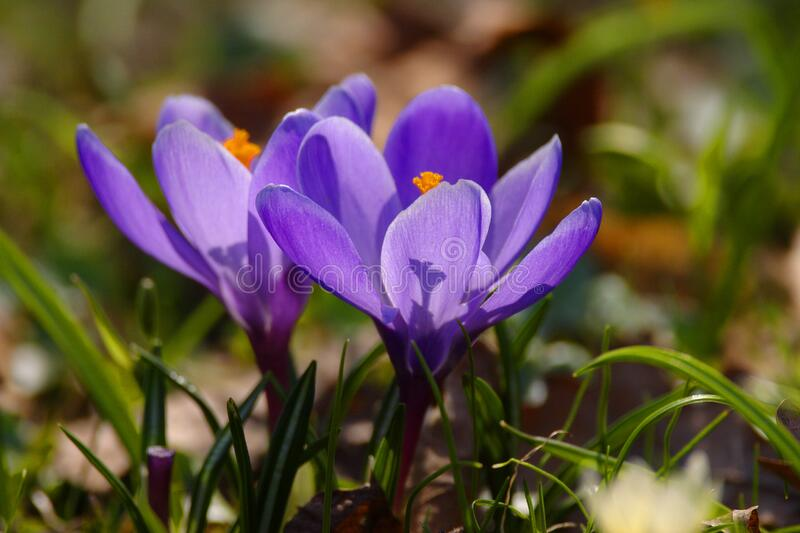Blooming Crocus flowers in spring season in city park in Warsaw, Poland royalty free stock image