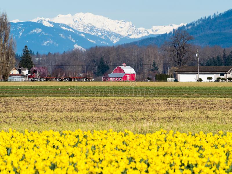 Blooming daffodil fields in Washington state stock image