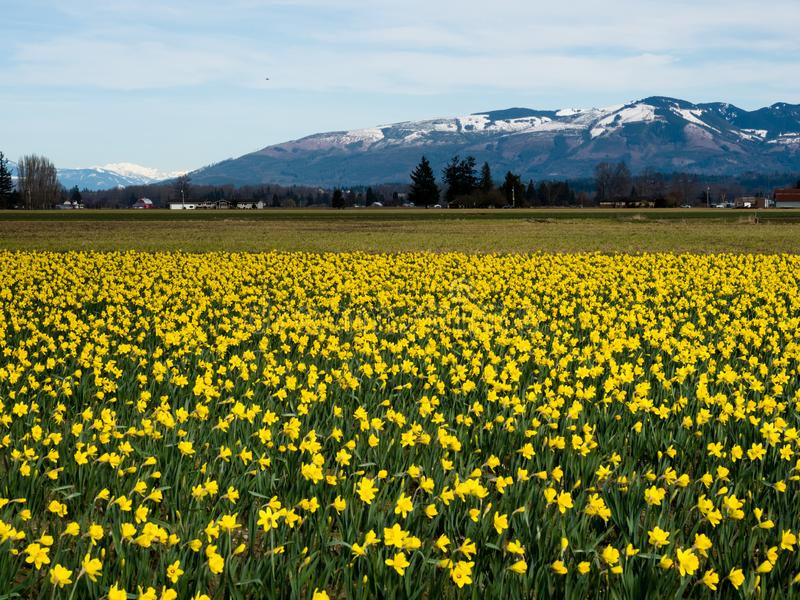 Blooming daffodils in Washington state, USA royalty free stock image