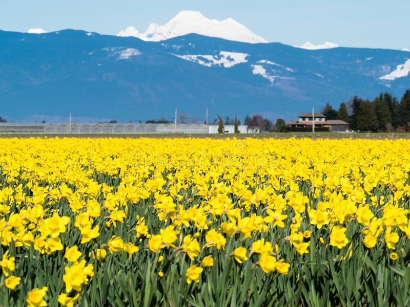 Blooming daffodil fields in Washington state royalty free stock photography