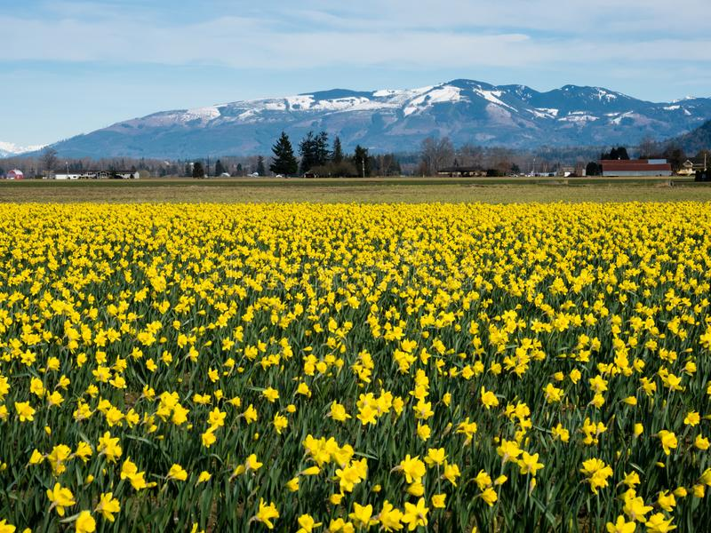 Blooming daffodil fields in Washington state royalty free stock photo